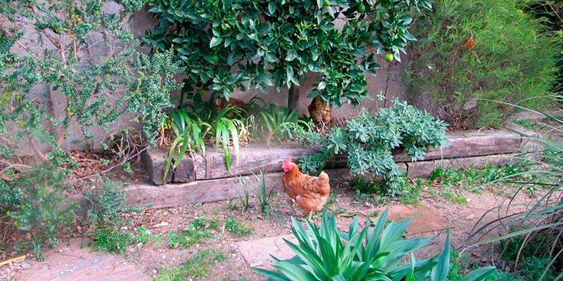 Gallines al jardí